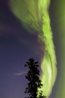 Aurora Borealis with Tree and Shooting Star, Yukon, Canada Fine Art Print