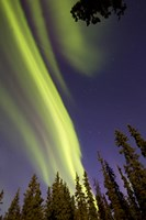 Aurora Borealis with Trees, Whitehorse, Canada Fine Art Print