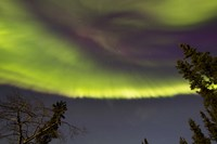 Aurora Borealis with Trees, Yukon, Canada Fine Art Print