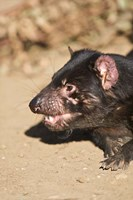 Head of Tasmanian Devil Fine Art Print