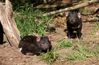 Pair of Tasmanian Devils Fine Art Print