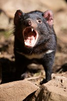 Angry Tasmanian Devil Fine Art Print