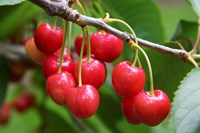 Cherries, Orchard near Cromwell, Central Otago, South Island, New Zealand Fine Art Print