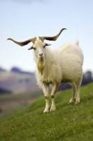 Goat, Taieri, near Dunedin, South Island, New Zealand Fine Art Print
