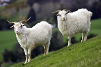 Pair of Goats, Taieri, South Island, New Zealand Fine Art Print