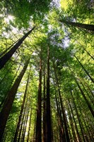 Redwood Forest, Rotorua, New Zealand Fine Art Print