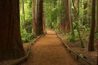 Path through Redwood Forest, Rotorua, New Zealand Fine Art Print