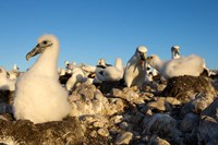 Shy Albatross chick and colony, Bass Strait, Tasmania, Australia Fine Art Print