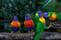 Australia, East Coast,  Lorikeets birds in a row Fine Art Print