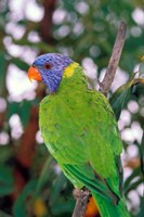 Australia, East Coast Rainbow Lorikeets bird (back view) Fine Art Print
