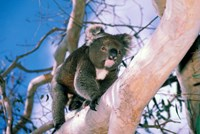 Australia, Kangaroo Isl, Koala bear, eucalypytus tree Fine Art Print