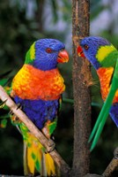 Australia, Pair of Rainbow Lorikeets bird Fine Art Print