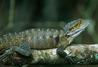 Australia, Queensland, Eastern Water Dragon lizard Fine Art Print