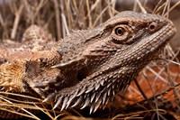 Australia, Central Bearded Dragon lizard, outback Fine Art Print