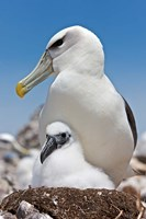 Australia, Tasmania, Bass Strait Shy albatross with chick Fine Art Print