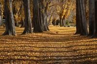 Poplar Trees in Autumn, Lake Wanaka, Otago, South Island, New Zealand Fine Art Print