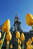 Tulips and Municipal Chambers Clocktower, Octagon, Dunedin, New Zealand Fine Art Print