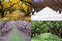Orchard through the Seasons, Central Otago, South Island, New Zealand Fine Art Print