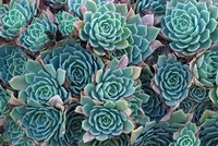 Echeveria Elegans Succulents, New Zealand Fine Art Print