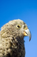 Close up of Kea Bird, Arthurs Pass NP, South Island, New Zealand Fine Art Print