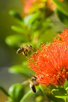 New Zealand, South Island, Bee on Rata flower Fine Art Print