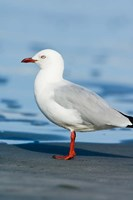 New Zealand, South Island, Karamea Redbilled Gull Fine Art Print