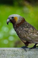 New Zealand, Stewart Island, Halfmoon Bay Kaka bird Fine Art Print