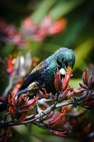 Tui bird, New Zealand Fine Art Print