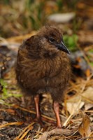 New Zealand, Stewart Island, Ulva Island, Weka bird Fine Art Print