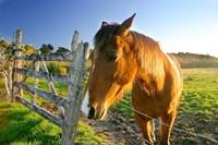 New Zealand, South Island, Horse ranch, farm animal Fine Art Print
