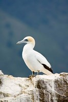 New Zealand, Australasian gannet tropical bird Fine Art Print