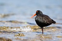 New Zealand, Oystercatcher tropical bird Fine Art Print