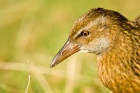 New Zealand, South Island, Marlborough, Weka bird Fine Art Print