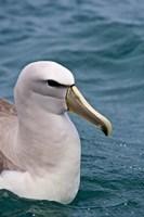 New Zealand, South Island, Salvin's Albatross Fine Art Print