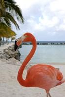 Pink Flamingo on Renaissance Island, Aruba, Caribbean Fine Art Print