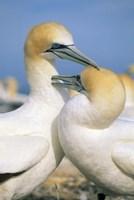 Pair of Gannet tropical birds, Cape Kidnappers New Zealand Fine Art Print