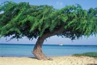 Kwihi Tree,  Aruba, Caribbean Fine Art Print