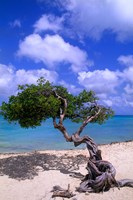 Lone Divi Tree, Aruba, Caribbean Fine Art Print