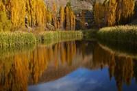 Poplar trees in Autumn, Bannockburn, Cromwell, Central Otago, South Island, New Zealand Fine Art Print