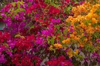 Bougainvillea flowers, Princess Cays, Eleuthera, Bahamas Fine Art Print