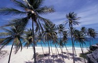 Palm Trees on St Philip, Barbados, Caribbean Fine Art Print