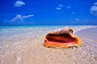 Conch at Water's Edge, Pristine Beach on Out Island, Bahamas Fine Art Print
