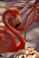 Pink Flamingo in Ardastra Gardens and Zoo, Bahamas, Caribbean Fine Art Print