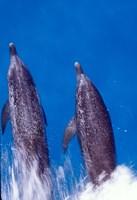 Atlantic Spotted Dolphins, Bimini, Bahamas Fine Art Print