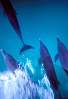 Atlantic Spotted Dolphins standing, Bimini, Bahamas Fine Art Print