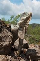 Green Iguana lizard, Slagbaai NP, Netherlands Antilles Fine Art Print