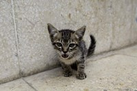 Cute kitten on the streets of Old Havana, Havana, Cuba Fine Art Print