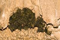 Bat wildlife, Cave, Ankarana NP, Madagascar Fine Art Print
