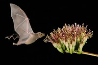 Lesser Long-Nosed Bat in Flight Feeding on Agave Blossom, Tuscon, Arizona Fine Art Print