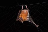 Fishing Bat, Iwokrama Forest Reserve, Guyana Fine Art Print